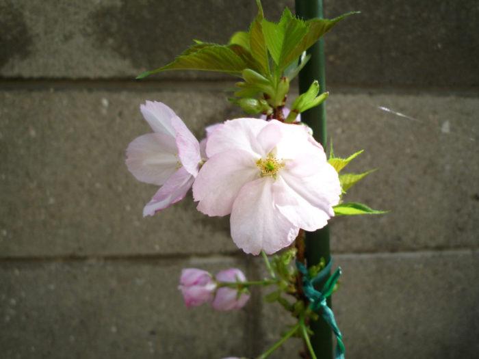 2017.4.12 春の花 (2)