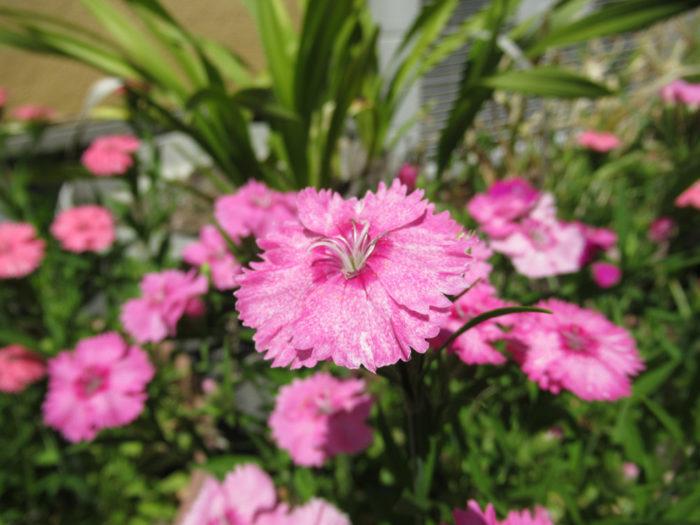 2018.4.20 季節の花 (27)
